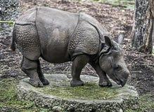 Młoda wielka indyjska nosorożec Zdjęcie Stock
