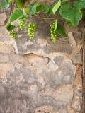 Młoda winorośl na ścianie obraz stock