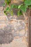 Młoda winorośl na ścianie obraz royalty free