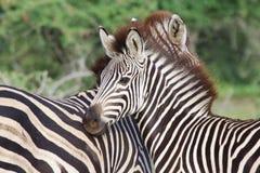 młoda zebra Zdjęcie Royalty Free