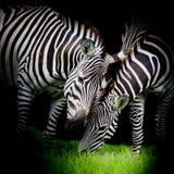 Młoda zebra z mamą Zdjęcie Stock