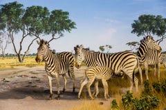 Młoda zebry pielęgnacja Obrazy Royalty Free