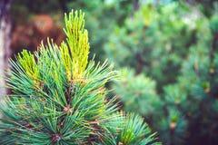 Młoda zieleni gałąź jedlinowy drzewo Kamchatka, Rosja Zdjęcia Stock