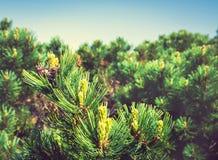 Młoda zieleni gałąź jedlinowy drzewo Kamchatka, Rosja Obrazy Royalty Free