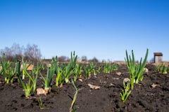 Młoda zielona cebula kiełkował na błękitnym wiosny niebie w tle i polu zdjęcia stock