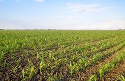 Młoda zielona kukurudza na polu Kukurydzany pole w wiośnie _ Obrazy Stock