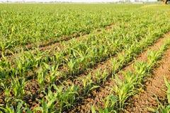 Młoda zielona kukurudza na polu Kukurydzany pole w wiośnie _ Fotografia Stock