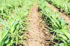 Młoda zielona kukurudza na polu Kukurydzany pole w wiośnie _ Obraz Stock