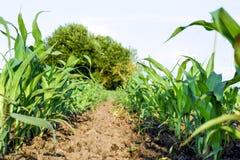 Młoda zielona kukurudza na polu Kukurydzany pole w wiośnie _ Obrazy Royalty Free