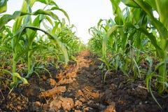 Młoda zielona kukurudza na polu Kukurydzany pole w wiośnie _ Zdjęcia Royalty Free