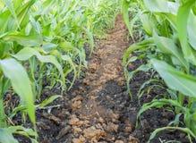 Młoda zielona kukurudza na polu Kukurydzany pole w wiośnie _ Obraz Royalty Free