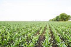 Młoda zielona kukurudza na polu Kukurydzany pole w wiośnie _ Zdjęcia Stock