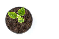 Młoda zielona roślina w małym czarnym garnku odizolowywającym na bielu Fotografia Royalty Free
