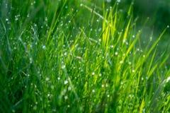 Młoda zielona trawa w rosie obraz stock