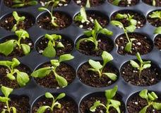 Młode świeże rozsady w plastikowych garnkach, organicznie narastający warzywa zdjęcie stock