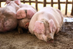 Młode świnie kłaść w drewnianej klatce Zdjęcie Stock