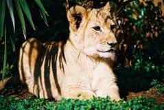 młode 01 lew Obrazy Royalty Free