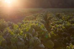 Młode Brukselskiej flancy rośliny Zdjęcia Stock