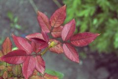 Młode cynaderki róże obrazy stock