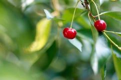 Młode dojrzenie wiśnie na drzewie w ogródzie na gospodarstwie rolnym rip Zdjęcia Royalty Free