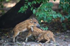 Młode dzikie świnie Zdjęcia Royalty Free