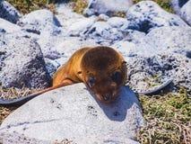 Młode Galapagos dennego lwa Galapagos wyspy Ecuador fotografia royalty free