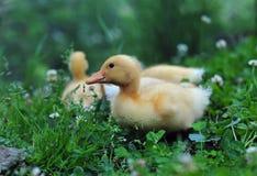 Młode kaczki Fotografia Royalty Free