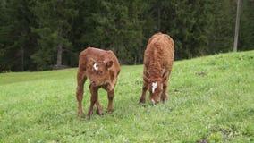 Młode krowy zdjęcie wideo