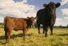 młode krowy Obraz Stock