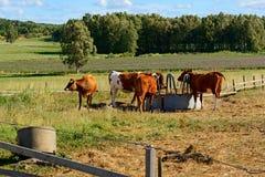 Młode krowy i łydki w corral Obraz Royalty Free