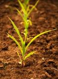 Młode kukurydzane rośliny obrazy royalty free