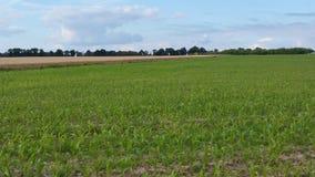 Młode kukurydzane rośliny w polu Fotografia Royalty Free