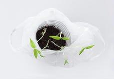 Młode Mung bobowe flance w białym plastikowym worku Fotografia Royalty Free