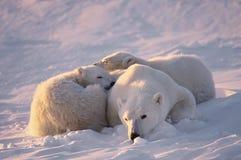 młode niedźwiadkowi jej polarna obraz royalty free