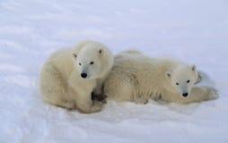 młode niedźwiadkowi polarne Obrazy Royalty Free