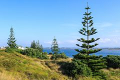 Młode Norfolk sosny na Nowa Zelandia plaży obraz stock