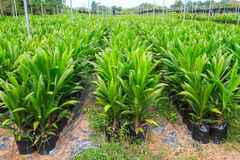 Młode olej palmowy rośliny zdjęcia stock