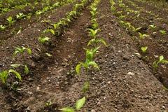 Młode organicznie pieprzowe rozsady r w ziemi Pieprz ro?liny w ogr?dzie fotografia stock