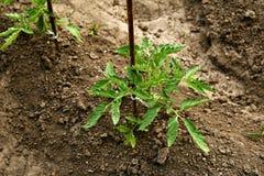 Młode organicznie pomidorowe rozsady r w ziemi Pomidorowe ro?liny w ogr?dzie zdjęcie royalty free