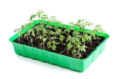 Młode pomidorowe rośliny w kiełkowanie tacy zdjęcie stock