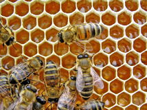 młode pszczół Zdjęcia Royalty Free