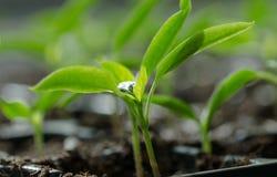 Młode rośliny Fotografia Stock