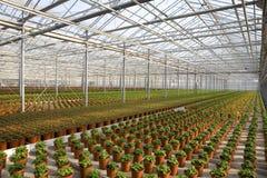 młode rośliny gazów cieplarnianych obraz stock