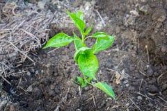Młode rośliny papryk rozsady Zdjęcie Stock