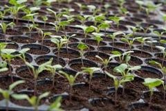 Młode rośliny w pepiniery plastikowej tacy, pepiniery warzywa gospodarstwo rolne obraz stock
