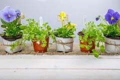 Młode rozsady kwiaty z ogrodowymi narzędziami na białym drewnianym stole Altówka i lobelia Obraz Royalty Free