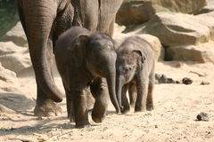 młode słonie Obrazy Royalty Free