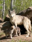 Młode szare wilcze ciucie z rodzicem obrazy stock