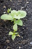 Młode szpinak rośliny Zdjęcie Royalty Free