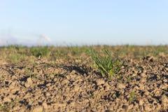 Młode traw rośliny, zakończenie Obraz Royalty Free